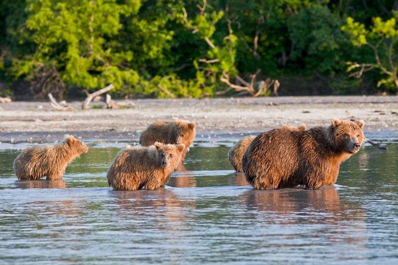 Не будем забывать, что еще одной достопримечательностью Камчатки является ее богатая фауна. В Курильском озере большое количество нерки, которая привлекает сюда бурых медведей. В конце лета здесь собирается порядка 200 особей. Russia, travel, животные, камчатка, факты