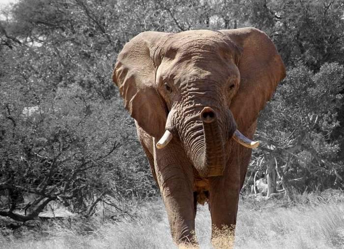 Слон растоптал насмерть охотника, пытавшегося его убить