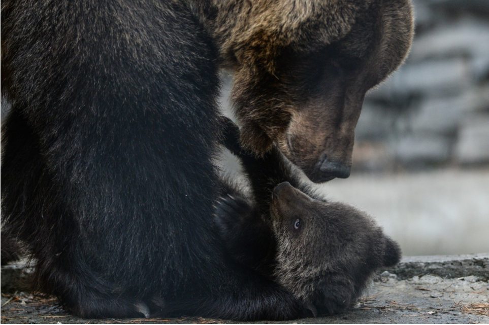 ФСБ предлагает признать бурых медведей стратегически важным ресурсом