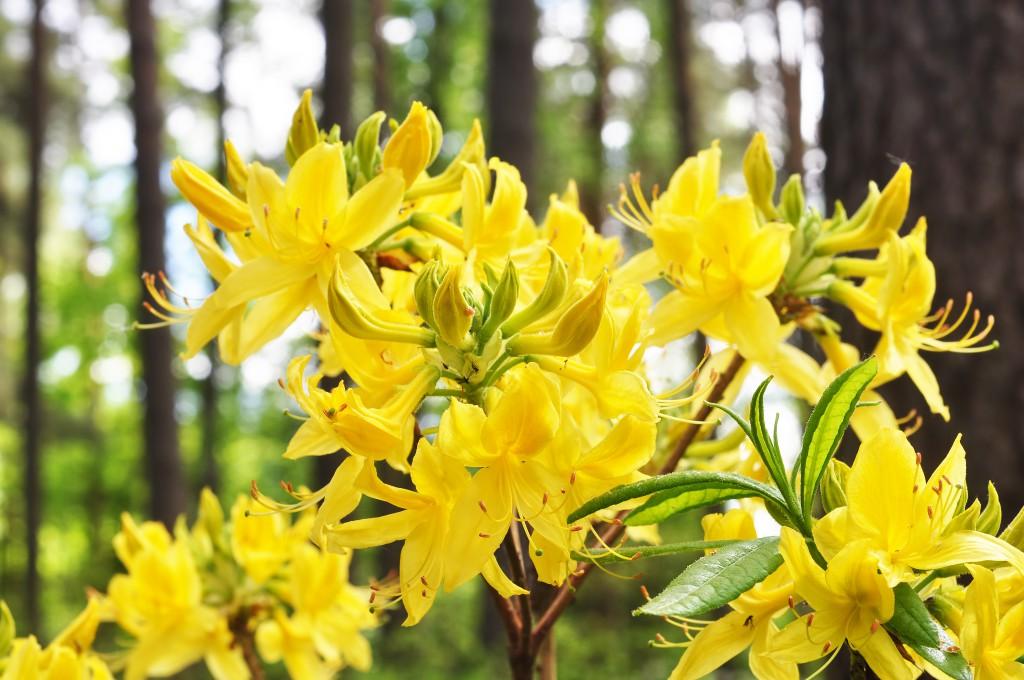 Картинки по запросу Рододендрон желтый