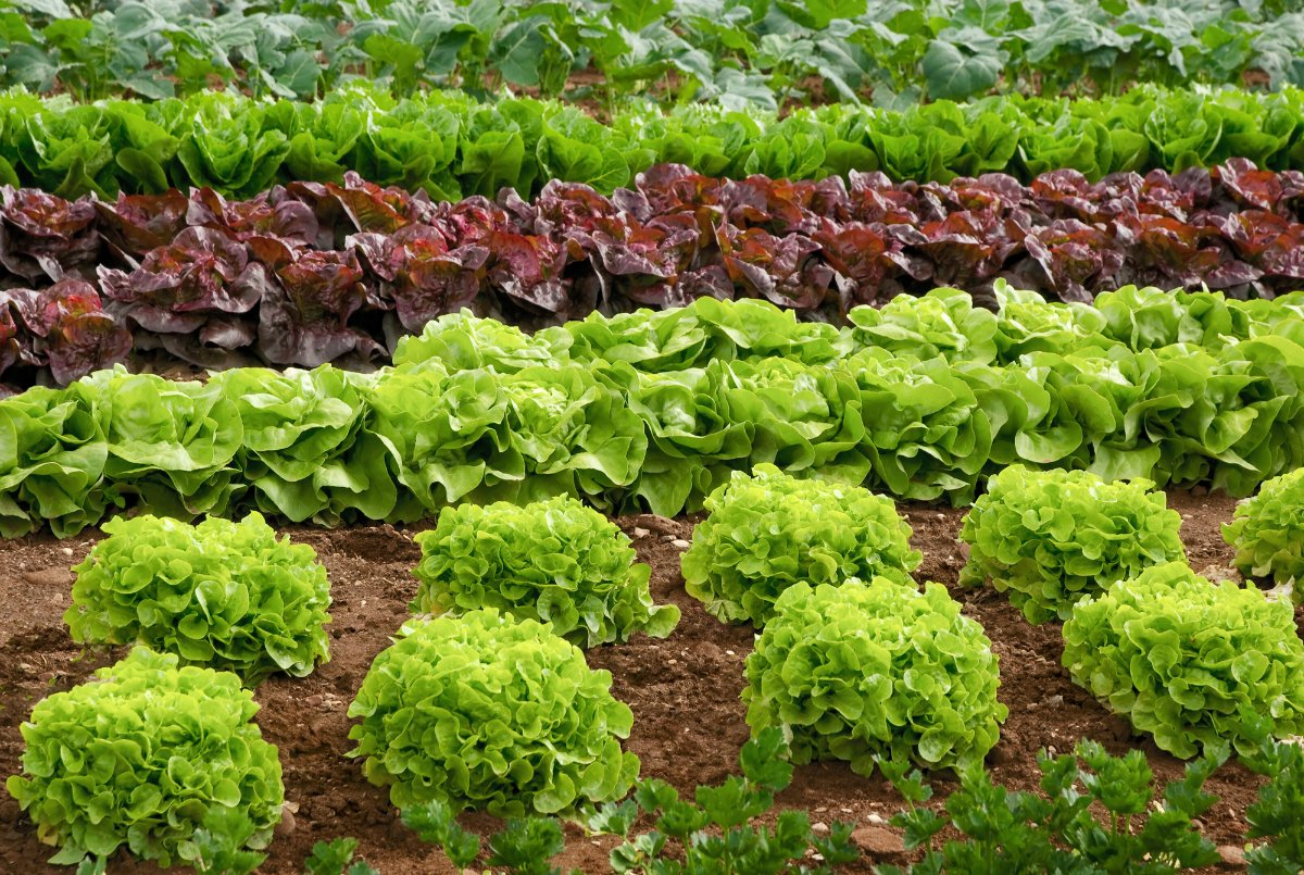 салаты огород фото аккуратном дворе много