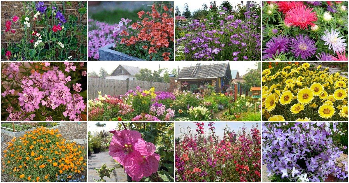 Май: безрассадные цветы двулетники,май,однолетники,посев в грунт,сад,цветы