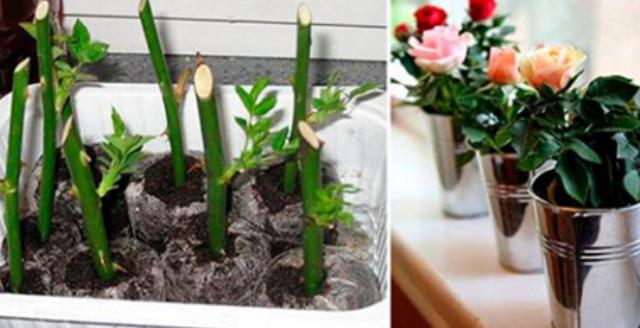 Вот как надо сажать уже срезанные розы, чтобы они росли...