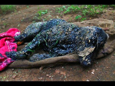Пес умирал в коконе из смолы, он уже потерял надежду на спасение...