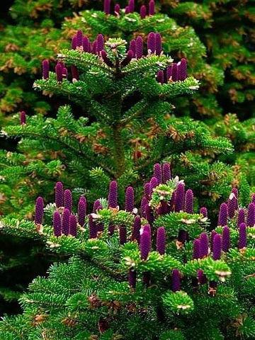 Необыкновенная красота... Так цветёт пихта. Как огоньки на елке... Красиво, правда?