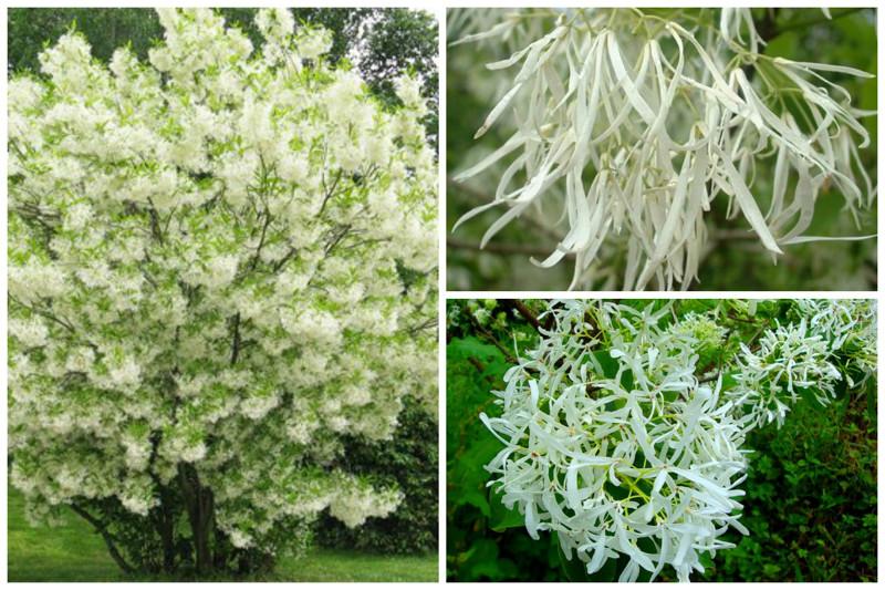 Floco de neve virgem, ou Hionanthus virginiana (Chionanthus virginicus) - apenas belas árvores, incrível, natureza, incrível, flora
