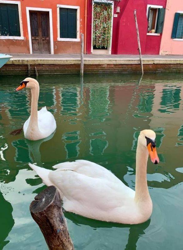 В Венецию из-за карантина вернулись лебеди и рыбы