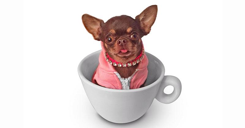 Самую крошечную собаку клонировали уже 49 раз