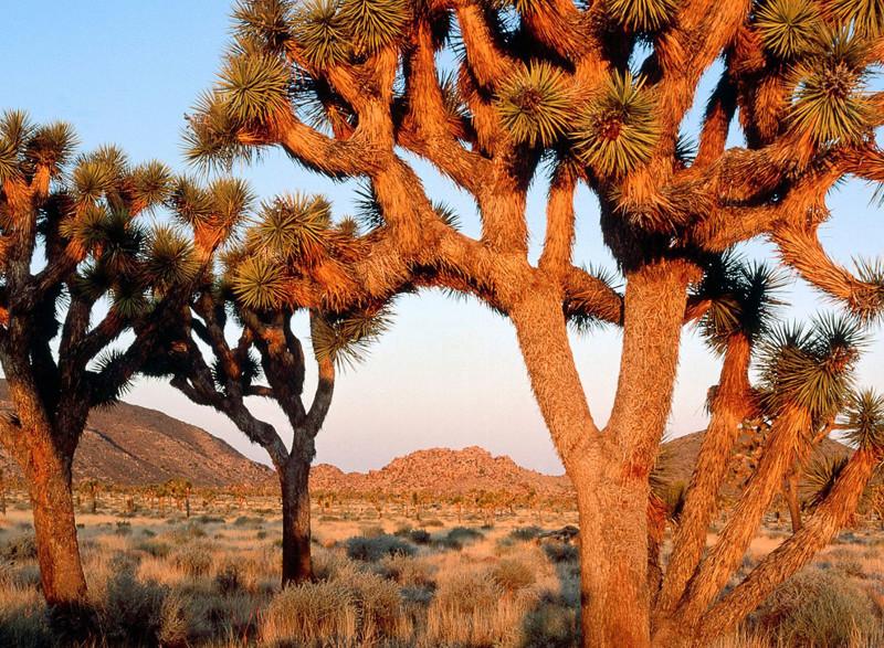 Joshua tree árvores, incrível, natureza, incrível, flora