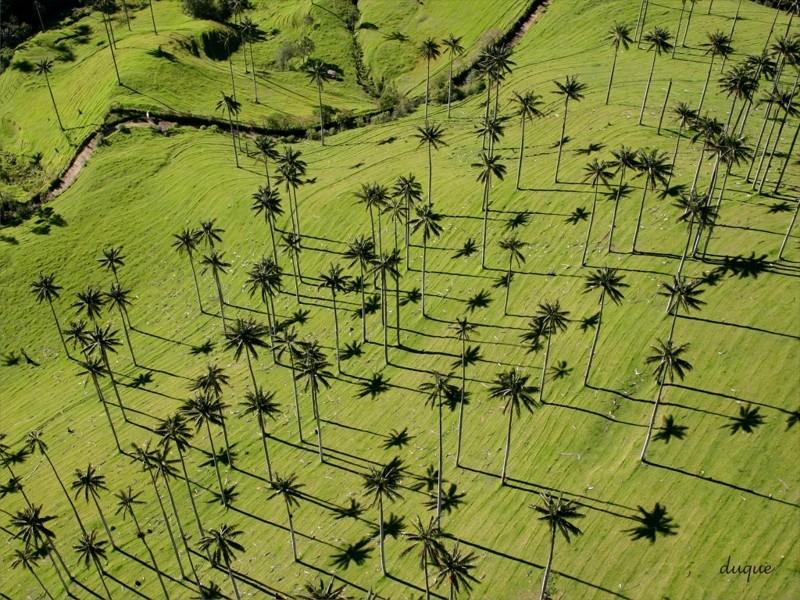 A palmeira mais alta do mundo Ceroxylon quindiuense (palmeira de cera Kindioi, cresce até 50 metros (árvores, incrível, natureza, incrível, flora