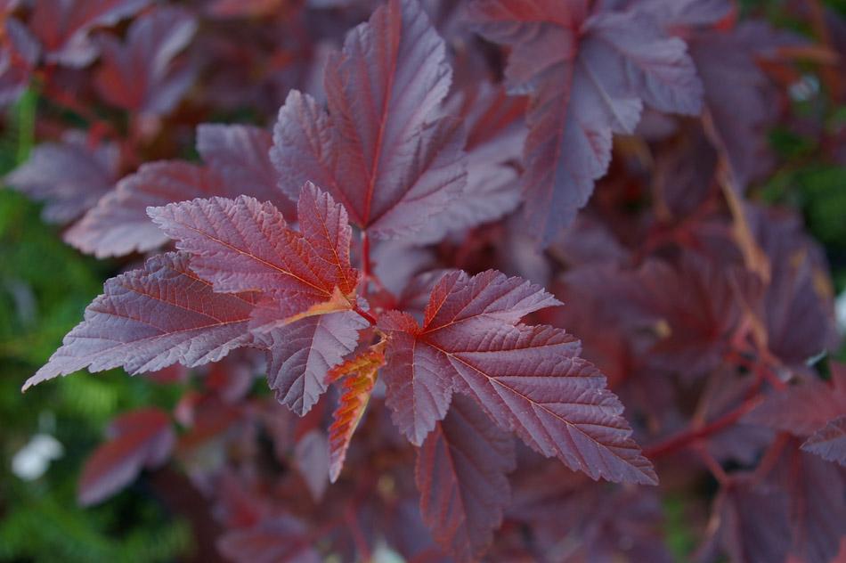 Листья пузыреплодника Диаболо