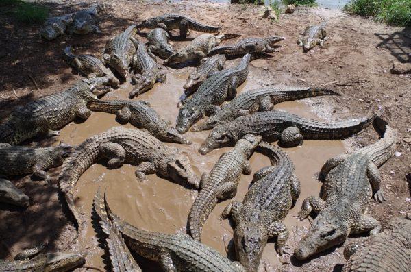 Индонезийцы убили 292 крокодила в отместку за смерть человека