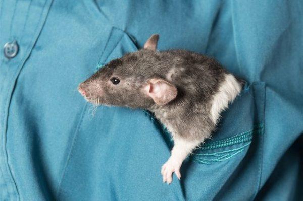 Крыса сидит в кармане у хозяина