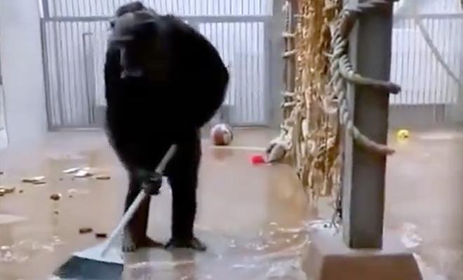 Обезьяна в зоопарке прибралась в своей клетке с помощью забытой уборщиком швабры. Видео