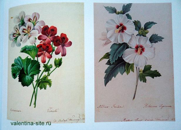 Федор Толстой. Герань. 1837. Althea frutex. 1837