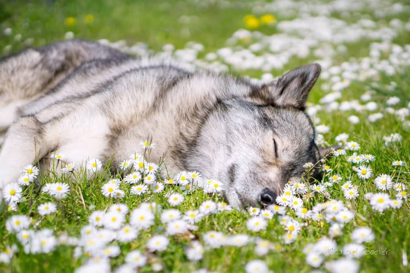 для ремонта волк нюхает цветы фото родственников
