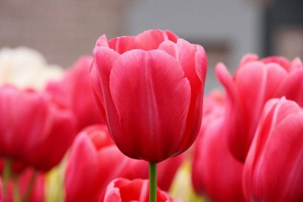 САД, ЦВЕТНИК И ОГОРОД. Секреты успешного выращивания тюльпанов