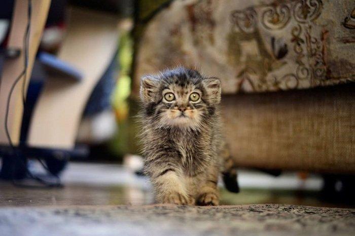 Когти и туалет заповедник, кошки, манул