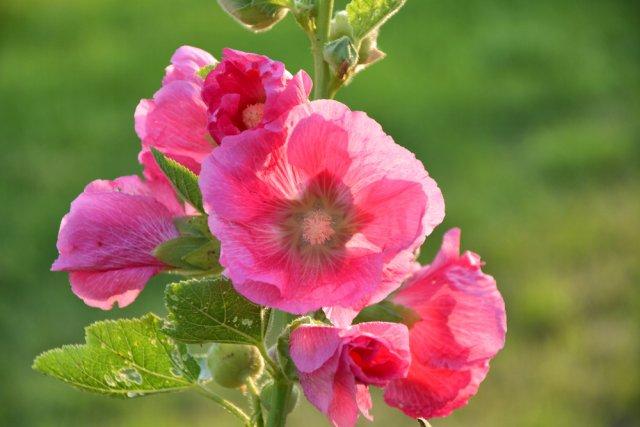 Цветник в стиле ретро: 10 цветов из нашего детства дача,сад и огрород,цветник,цветоводство