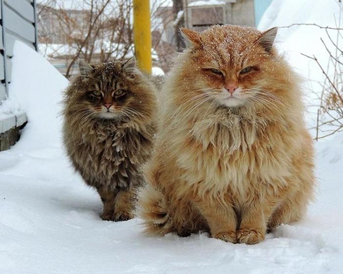 «Миллион» сибирских кошек на…