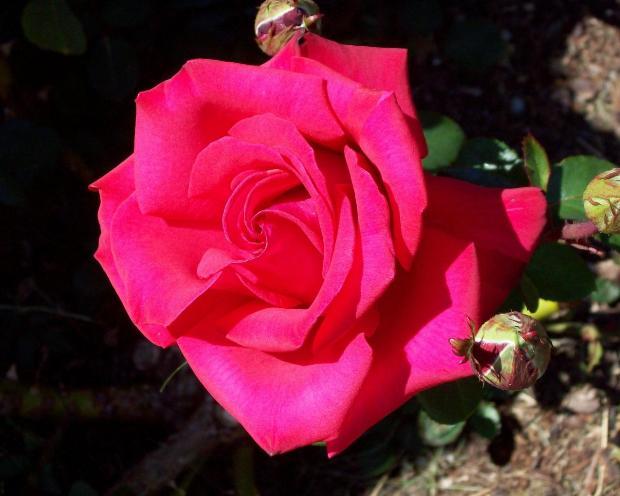 САД, ЦВЕТНИК И ОГОРОД. Как правильно посадить розу из букета