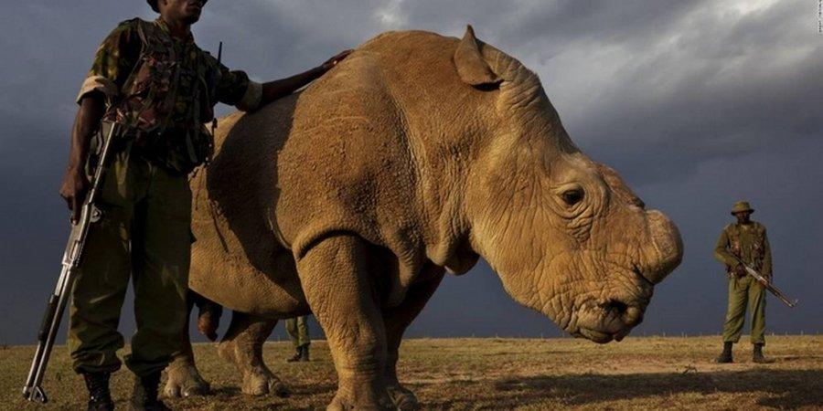 Последнего в мире самца северного белого носорога усыпили