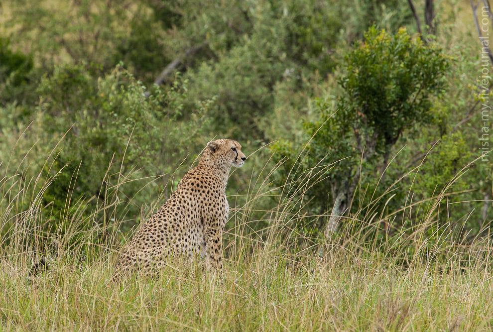 Масаи-Мара — самый известный заповедник в Кении животные