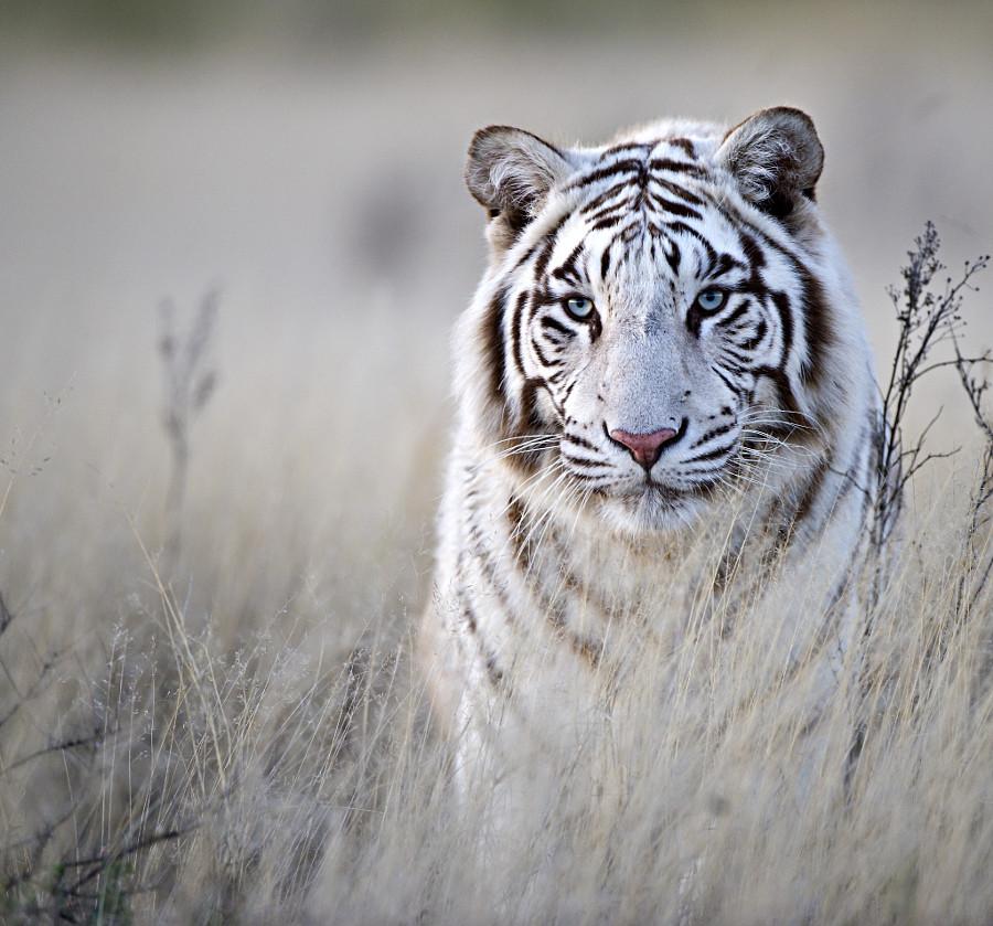 ТЕРЕМОК. Тигры
