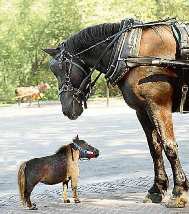 Так выглядит карликовая лошадка.