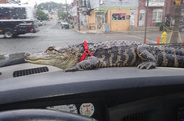 Владелец аллигатора рассказал о своем питомце