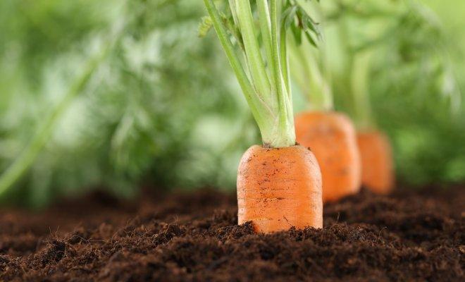 Как вырастить морковь на суглинке – 4 шага до хорошего урожая