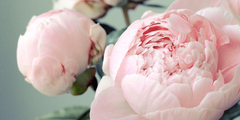 12 фактов о пионах, которые вам захочется пересказать подругам цветы