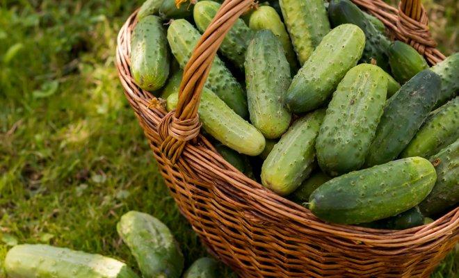 Как вырастить вкусные огурцы – раскрываем секреты опытных огородников огород,огурцы