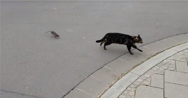 Непростые отношения кота и крысы видео, животные, кот, крыса, люксембург, прикол, юмор