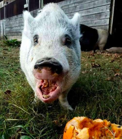 свинья ест тыкву