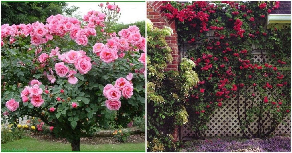 Чарующие и ароматные розы на дачном участке: вдохновляющие идеи