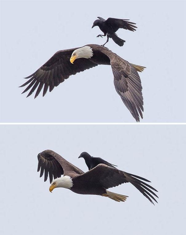 Доказательства того, что вороны самые большие засранцы из мира птиц
