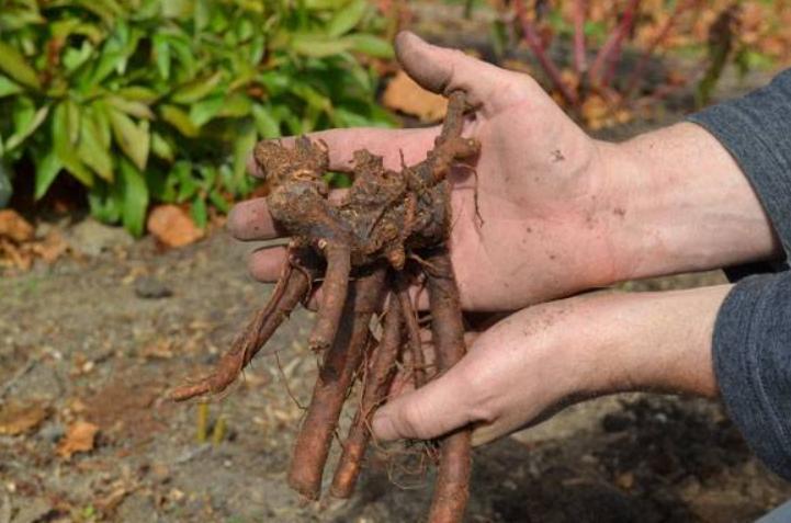 Марьин корень лечебные свойства при импотенции