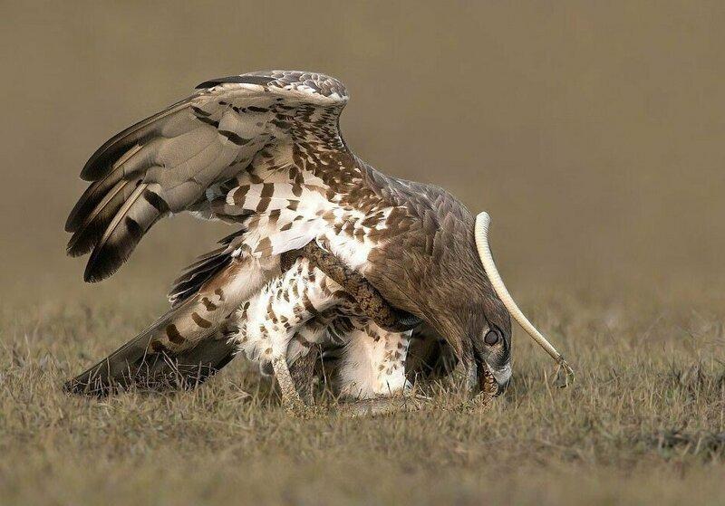 Орел наклонился и проглотил змею Тамилнад, животные, змея, индия, орел, схватка, хищник