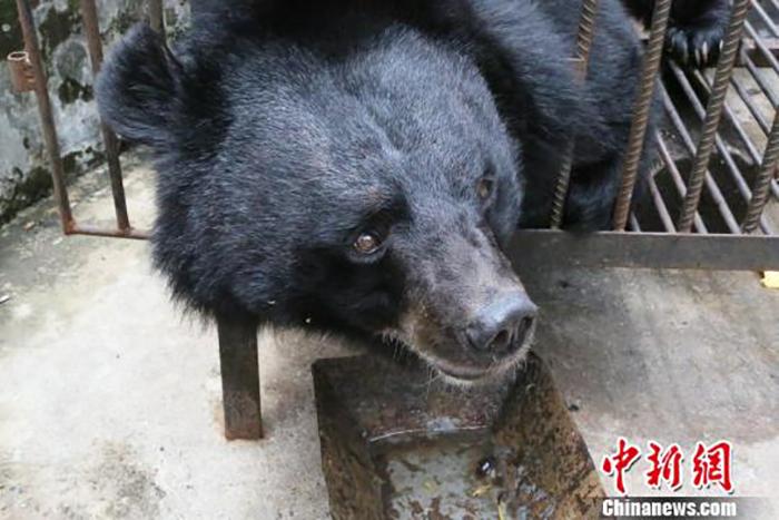 Через два года питомец Су Му достиг метра в высоту и веса в 200 кг.