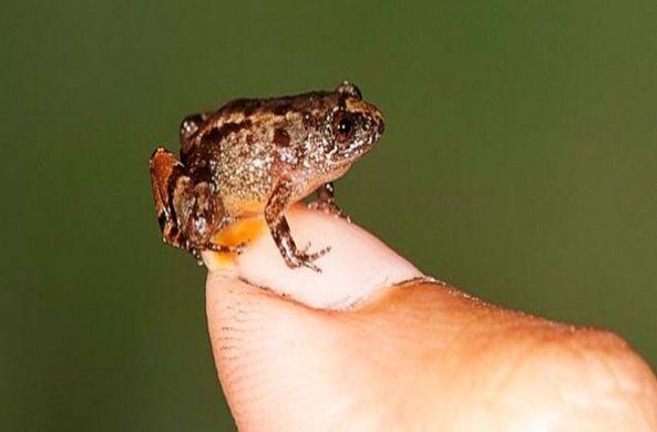 В Индии нашли звездных лягушек