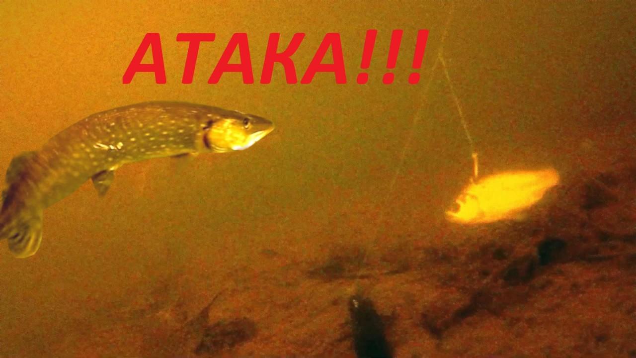 Щука на живца. Атака щуки! Зимняя рыбалка 2018.