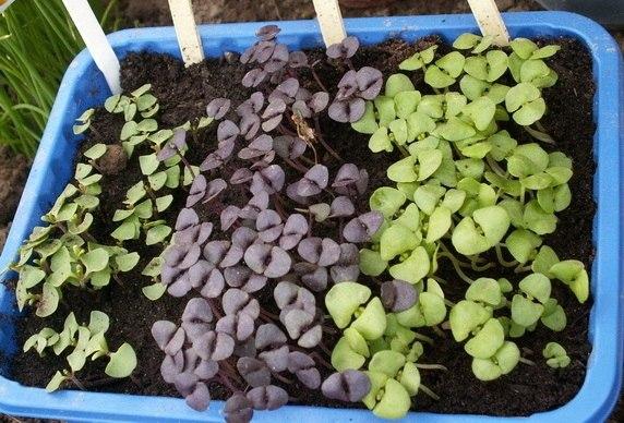 Выращиваем базилик через рассаду - время сеять!