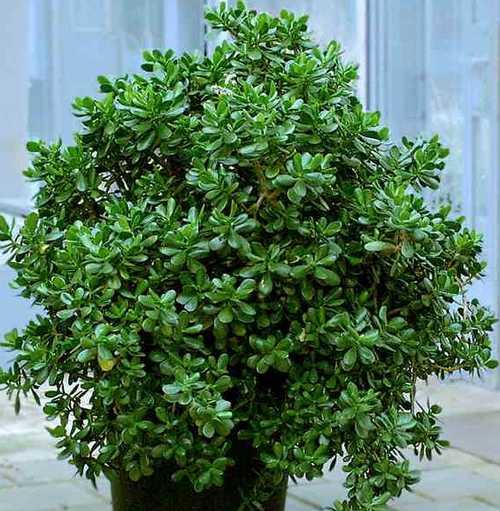 Как вырастить денежное дерево
