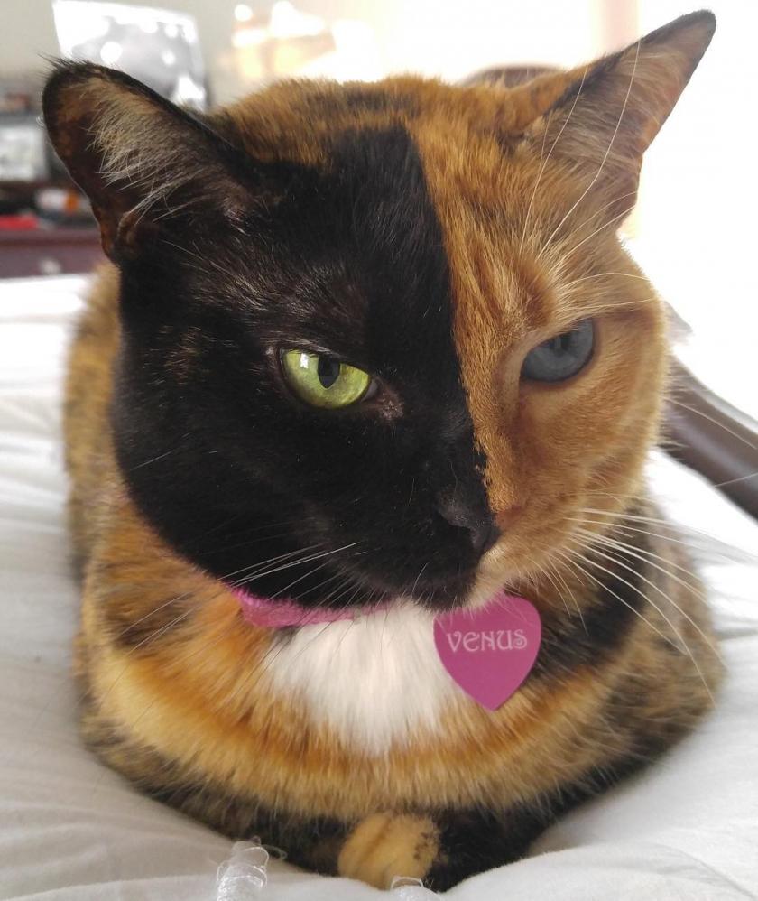 Удивительная двуликая кошка …