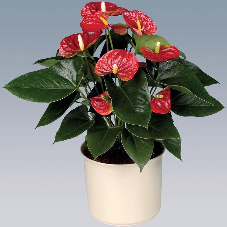 Цветок мужское счастье (Антуриум): приметы и суеверия для женщин и мужчин