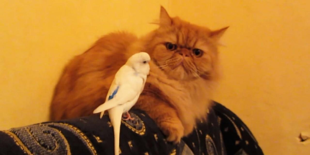 Попугайчик достает огромного кота, испытывая его терпение!  Реакция кота на наглеца — это нечто!