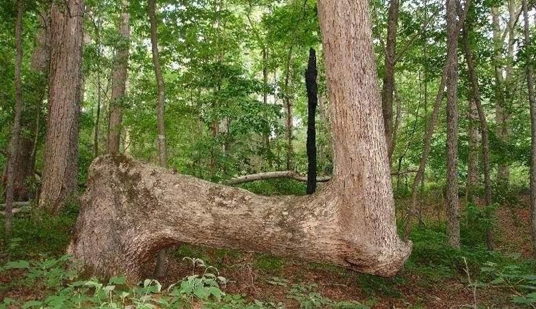 Множество деревьев в Северной Америке загадочно изогнуты одинаковым образом