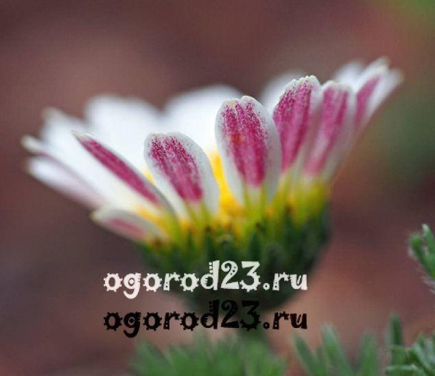 цветы похожие на ромашки 2