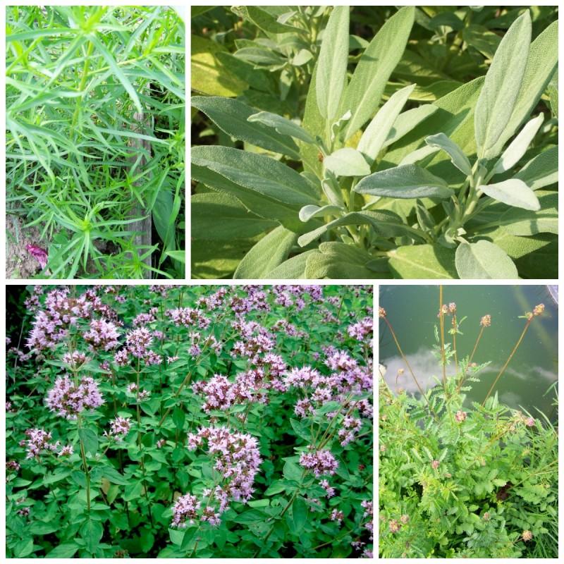Пряные травы: условия зимовки при,пряно-вкусовые растения,садоводство,уход за садом